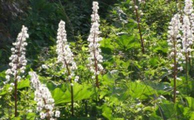 Lopuh – čudesan lek za alergije i migrenu